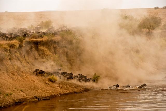 Los ñus cruzando el río Mara