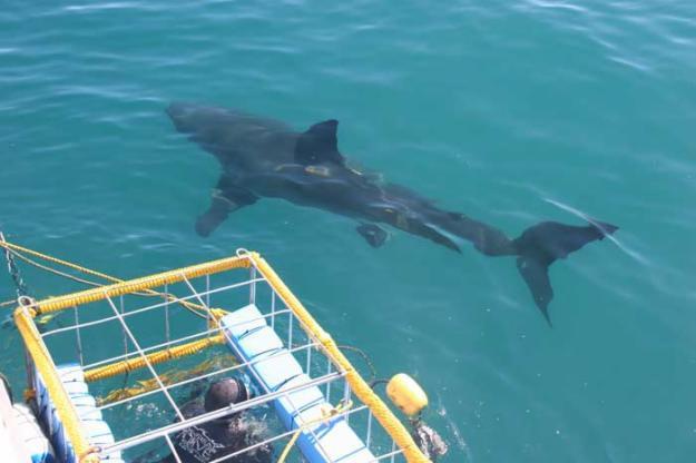 Jaula y Tiburón Blanco