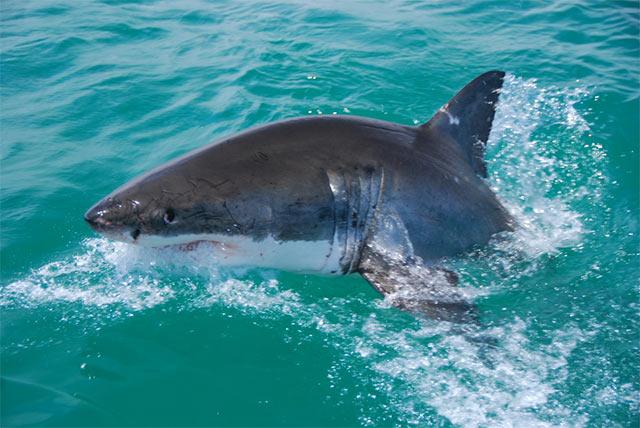 Tiburón Blanco saltando fuera del agua