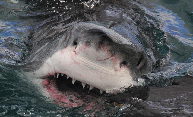 La boca del Gran Blanco