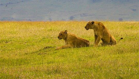 Leonas esperando a su presa