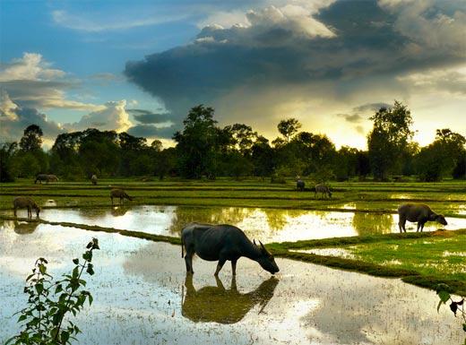 Búfalo pastando en los arrozales