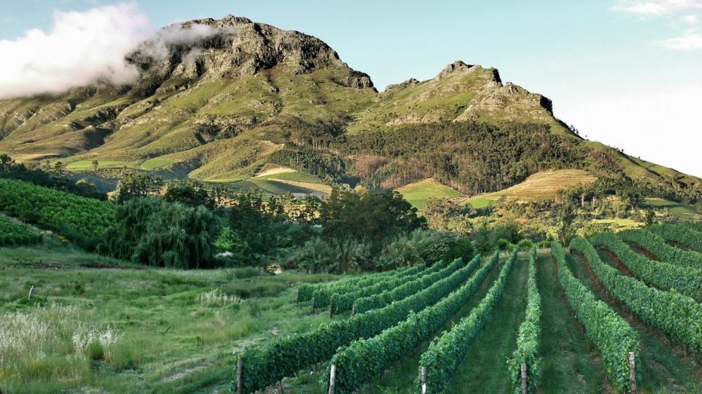 Viñedos tras la Table Mountain