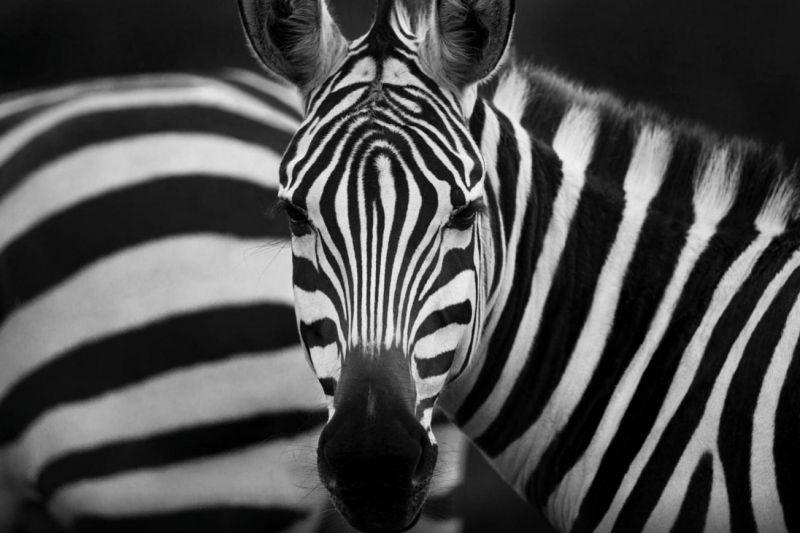 Foto de Ruta por El corazón de Africa Fotografiando cebras