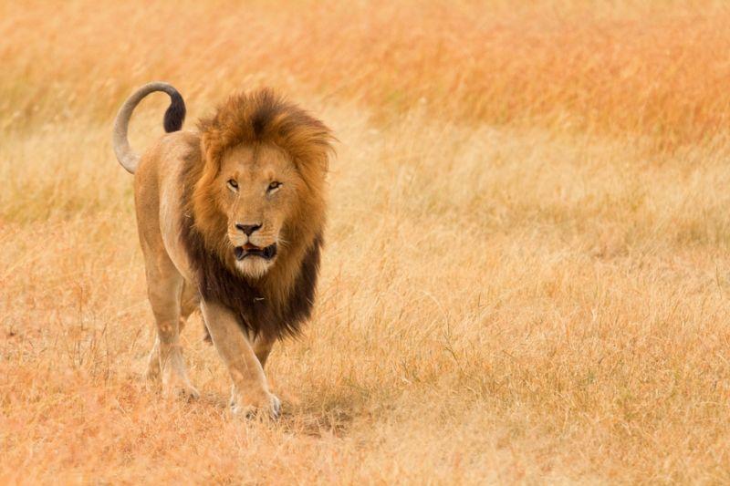 Foto de Ruta por El lado salvaje de África leon