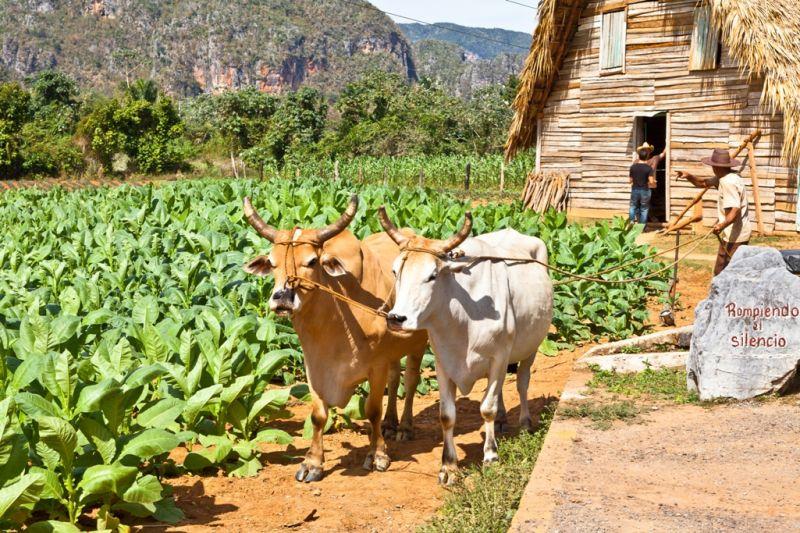 Foto de Ruta por En coche por el Caribe Plantación de tabaco de Viñales