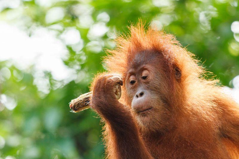 Foto de Ruta por Indonesia salvaje Joven orangután
