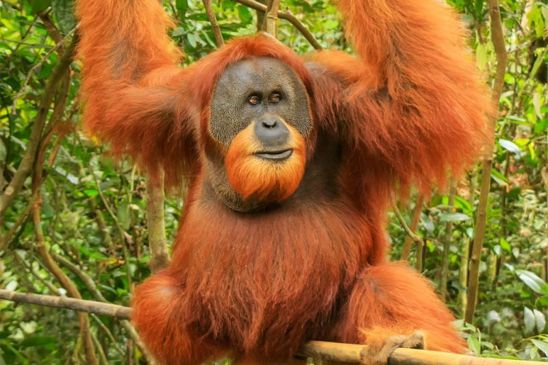 Foto de Ruta por Indonesia salvaje Orangután