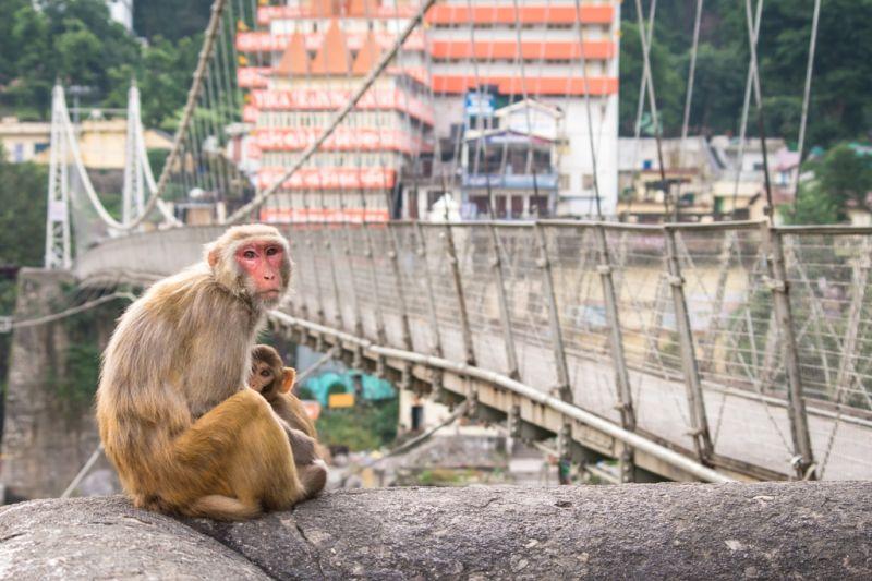 Foto de Ruta por La cuna del Yoga Macaque Monkeys