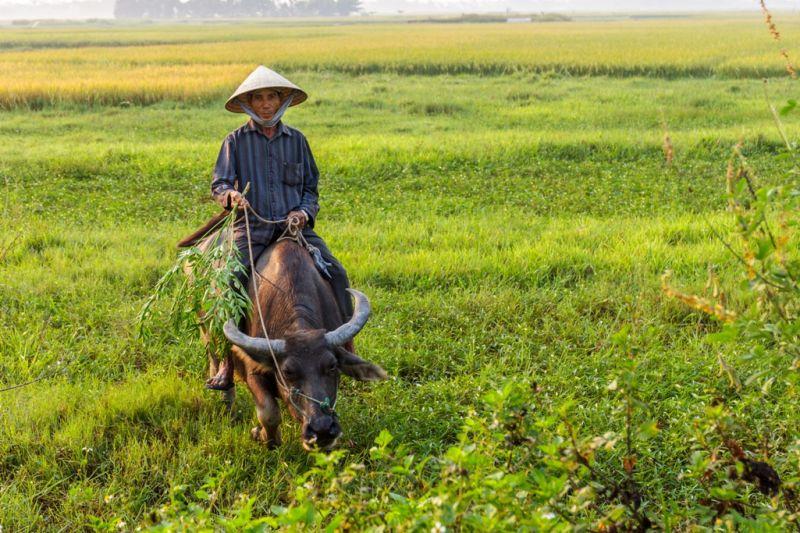 Foto de Ruta por Montañas, verdes arrozales y Yoga Granjero con bufalo