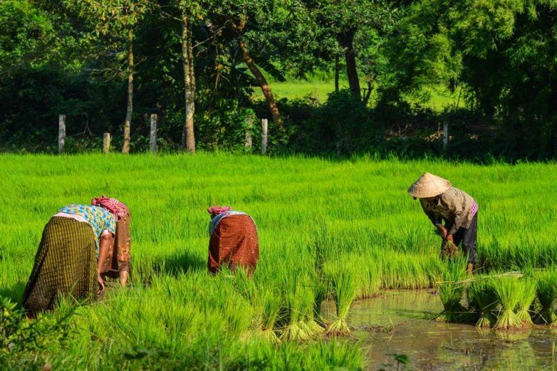 Foto de Ruta por Montañas, verdes arrozales y Yoga Recogiendo arroz