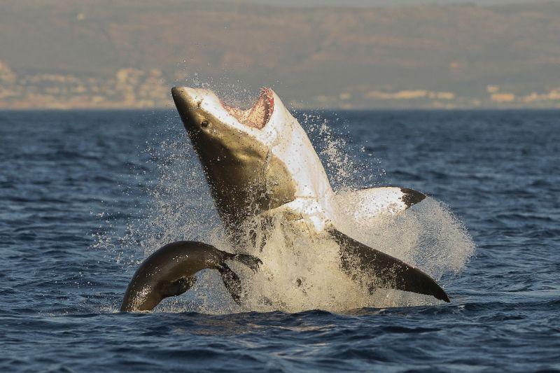 Foto de Ruta por Road trip por Sudáfrica tiburon blanco
