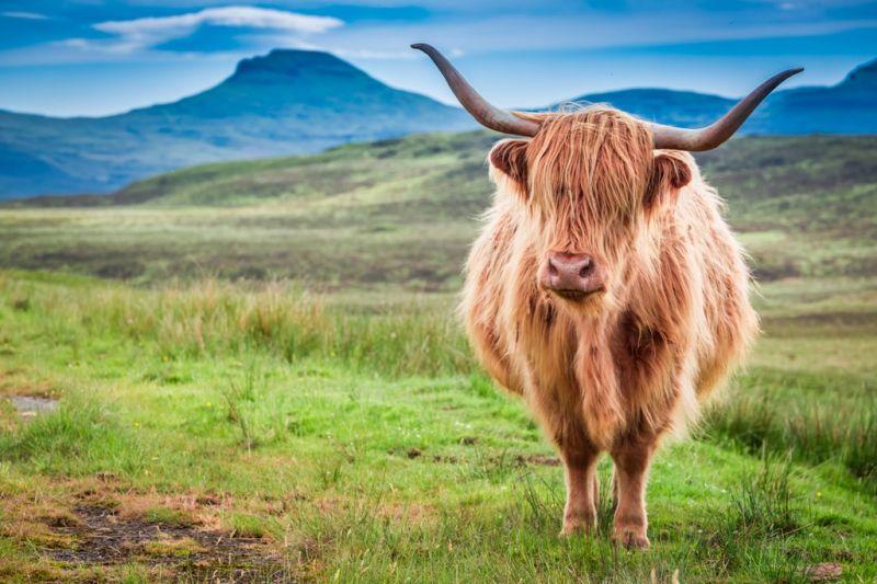 Foto de Ruta por Rumbo a las Highlands Vaca escocesa