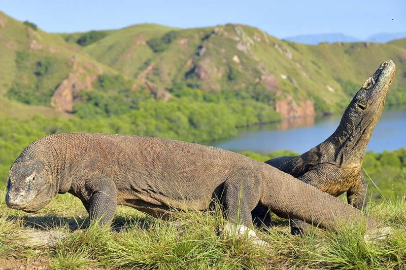 Foto de Ruta por Volcanes, buceo y dragones de Komodo Dragones de Komodo