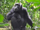 Viaje a Congo - Chimpancé
