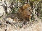 Viaje a Tanzania - León del Serengeti