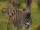 Viaje a Sudafrica - Cebras en el parque del Kruger