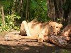 Viaje a Congo - León comiendo una jirafa