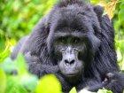 Viaje a Congo - Gorila en Virunga