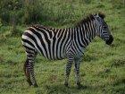 Viaje a Tanzania - Cebra en el Ngorongoro