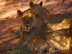Viaje a Sudafrica - Leonas descansando